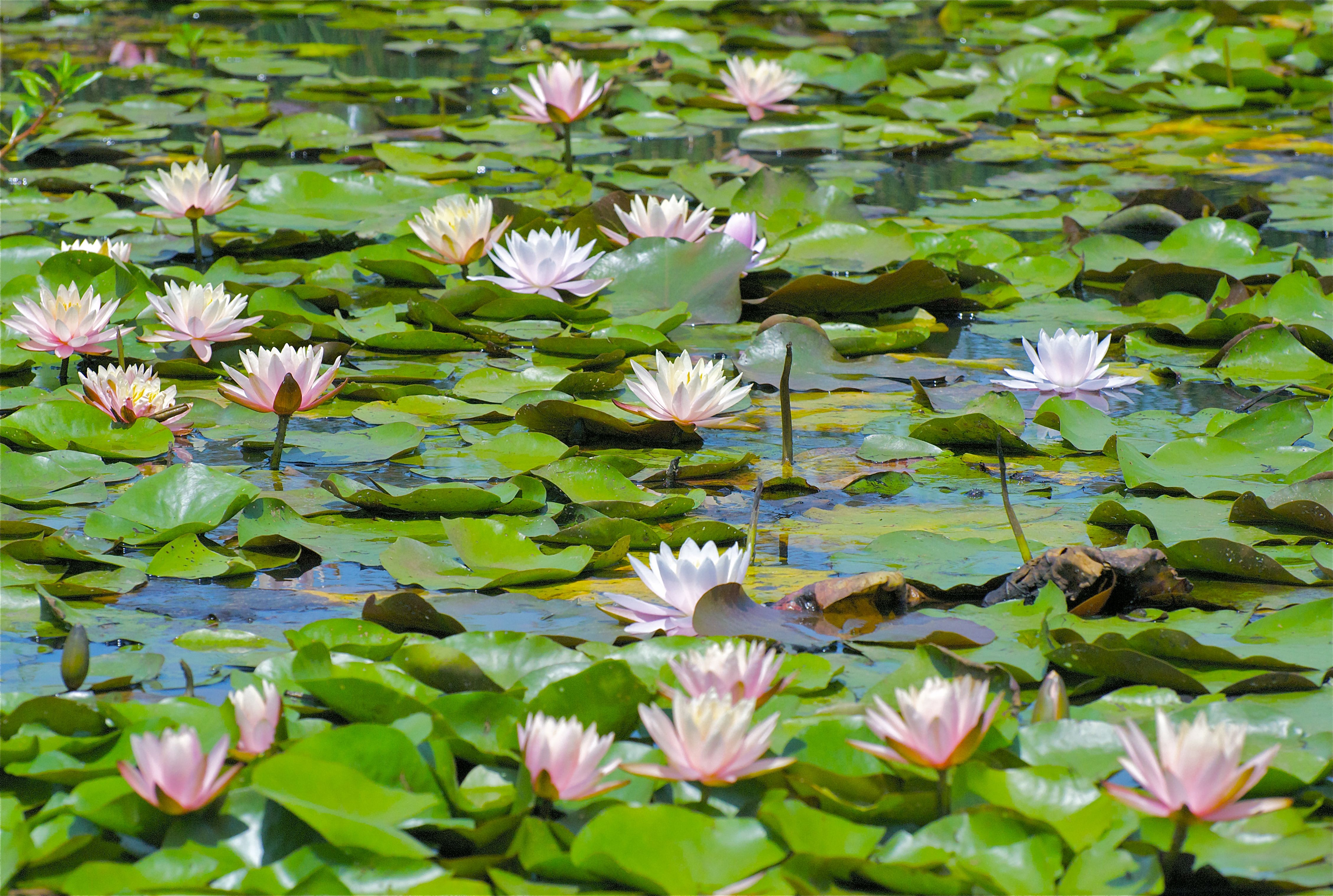 Lilies On Pond Lily Pond Water Lilies Pinterest