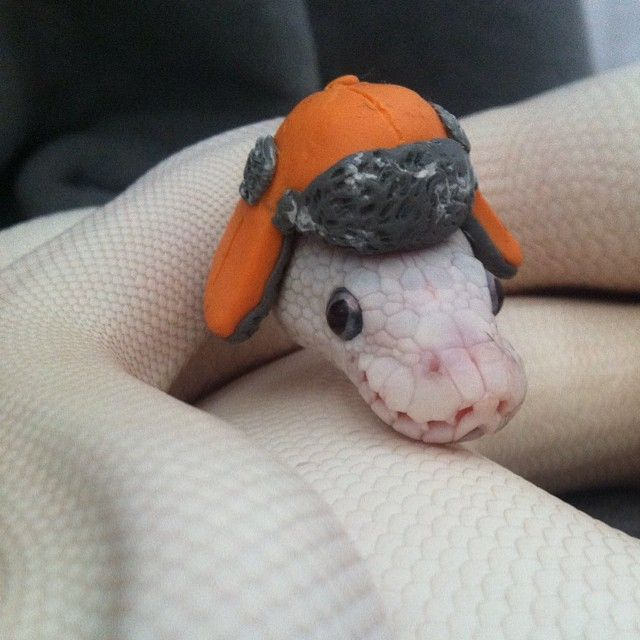 I FEEL BLESSED | aminals | Snakes with hats, Cute animals ... Cute Ball Python With Hat