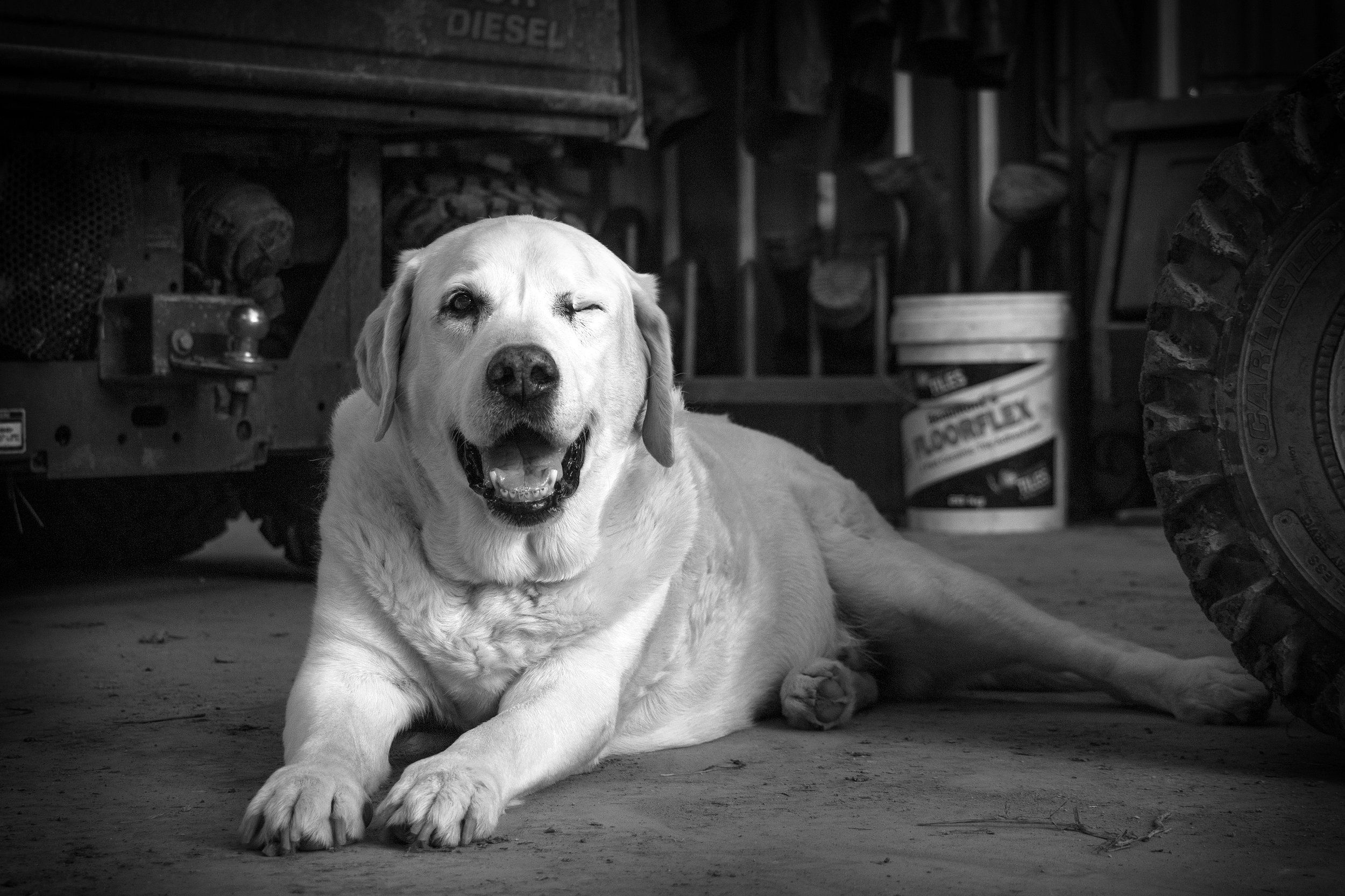 One Eyed Labrador Yarra Valley Pet Photography