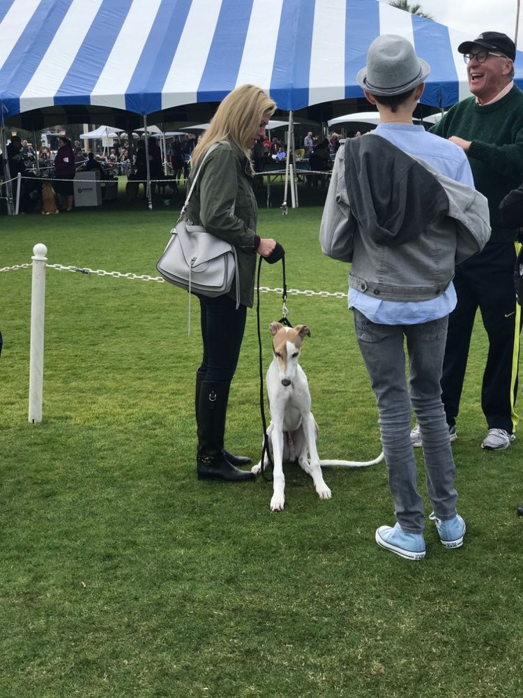 Whippet Visitor At The Akc All Breed Show Palm Springs Kennel