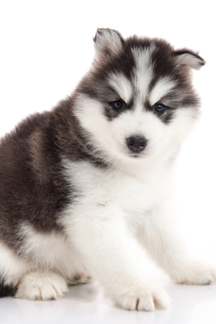Cute Siberian Husky Puppy Lying On White Background Isolated Siberianhusky Siberian Husky Siberian Husky Dog Siberian Husky Puppies