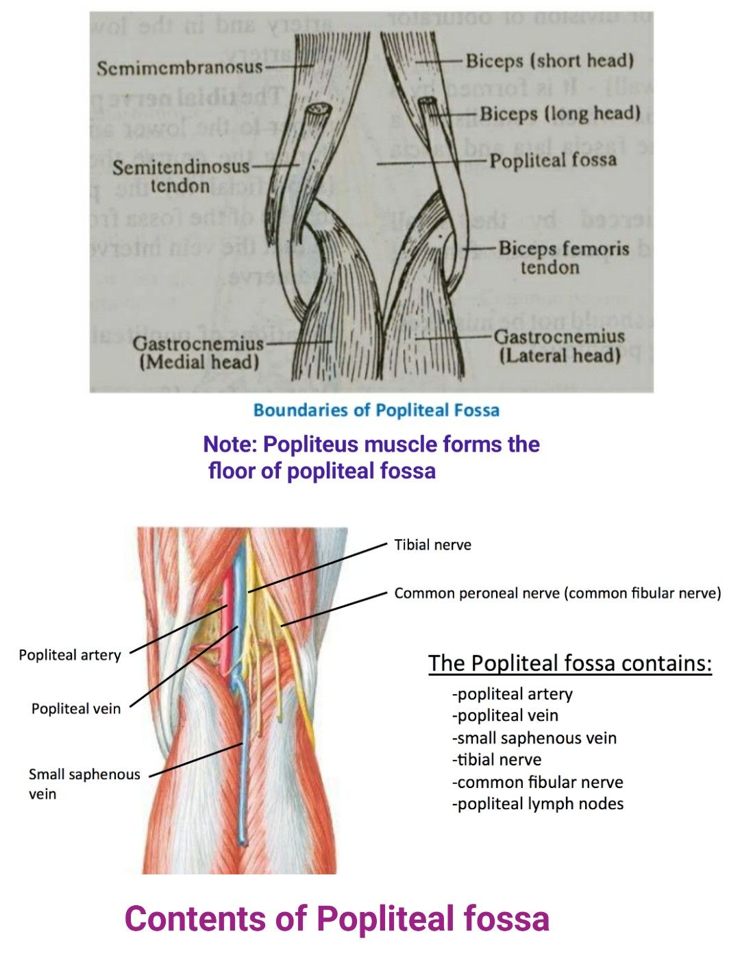 Popliteal fossa ... Note: Superolaterally - Biceps femoris .... imp ...