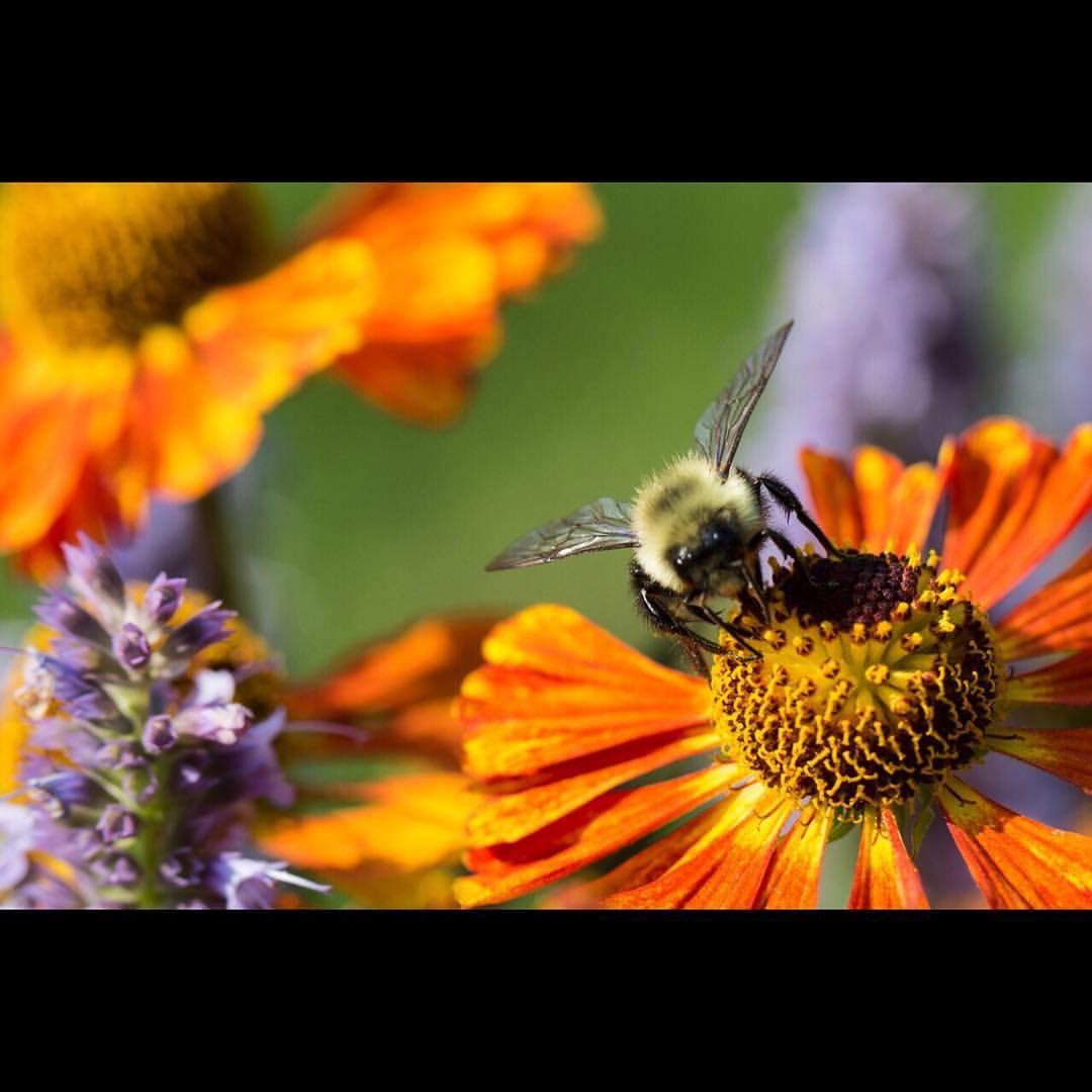 Harvest Season Honeybee September in Odell Park