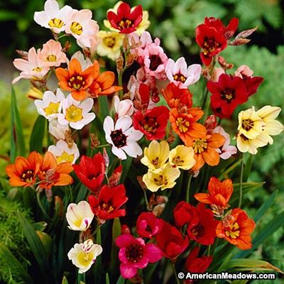 Sparaxis Bulbs Mix American Meadows Bulb Flowers Garden Bulbs Spring Flowering Bulbs