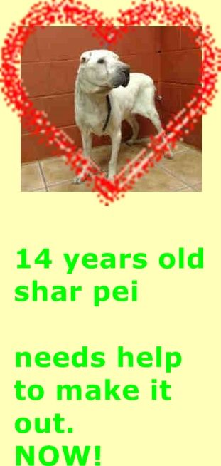 14 Year Old Sharpei Needs Pledges And Rescue A4795893 My Name Is Pugsley And I M An Approximately 14 Year Old Male Chinese Sha Dog Adoption Animals Senior Dog