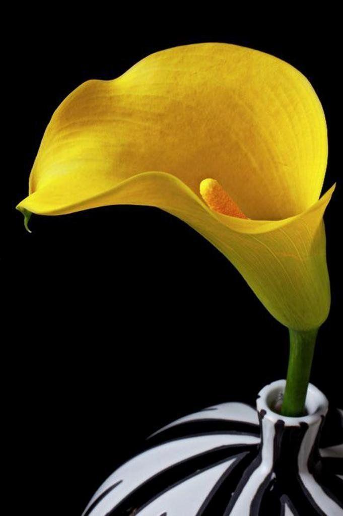 Amazon.com: Eden Art-Yellow Calla in Black and White Vase Abstract ...