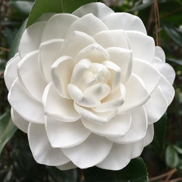 Camellia Japonica Sea Foam Is A Great White Flowering Variety Camellia Flowers Garden Horticulture Landscape Savannah Www Ge Camellia Japonica Flowers