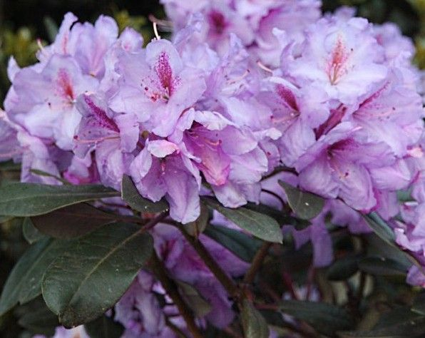 rhododendron lavender princess rhodies in my yard and those that should be there pinterest. Black Bedroom Furniture Sets. Home Design Ideas