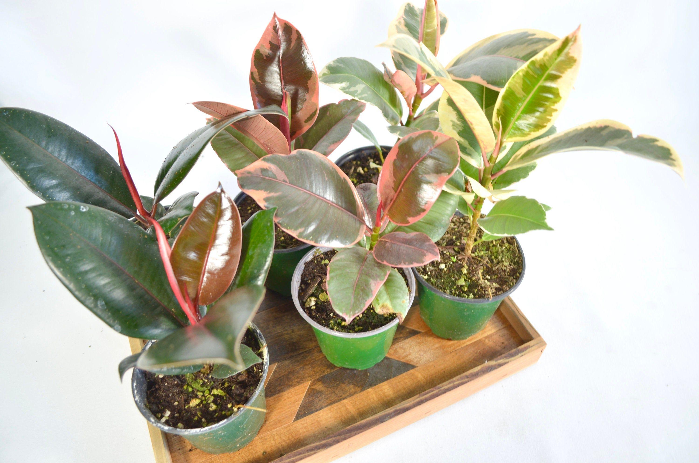 4 rubber plant ficus elastica burgundy tineke ruby