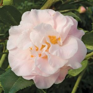 High Fragrance Camellia Logee S Greenhouse 12 95 Camellia Plant Fragrant Plant Camellia