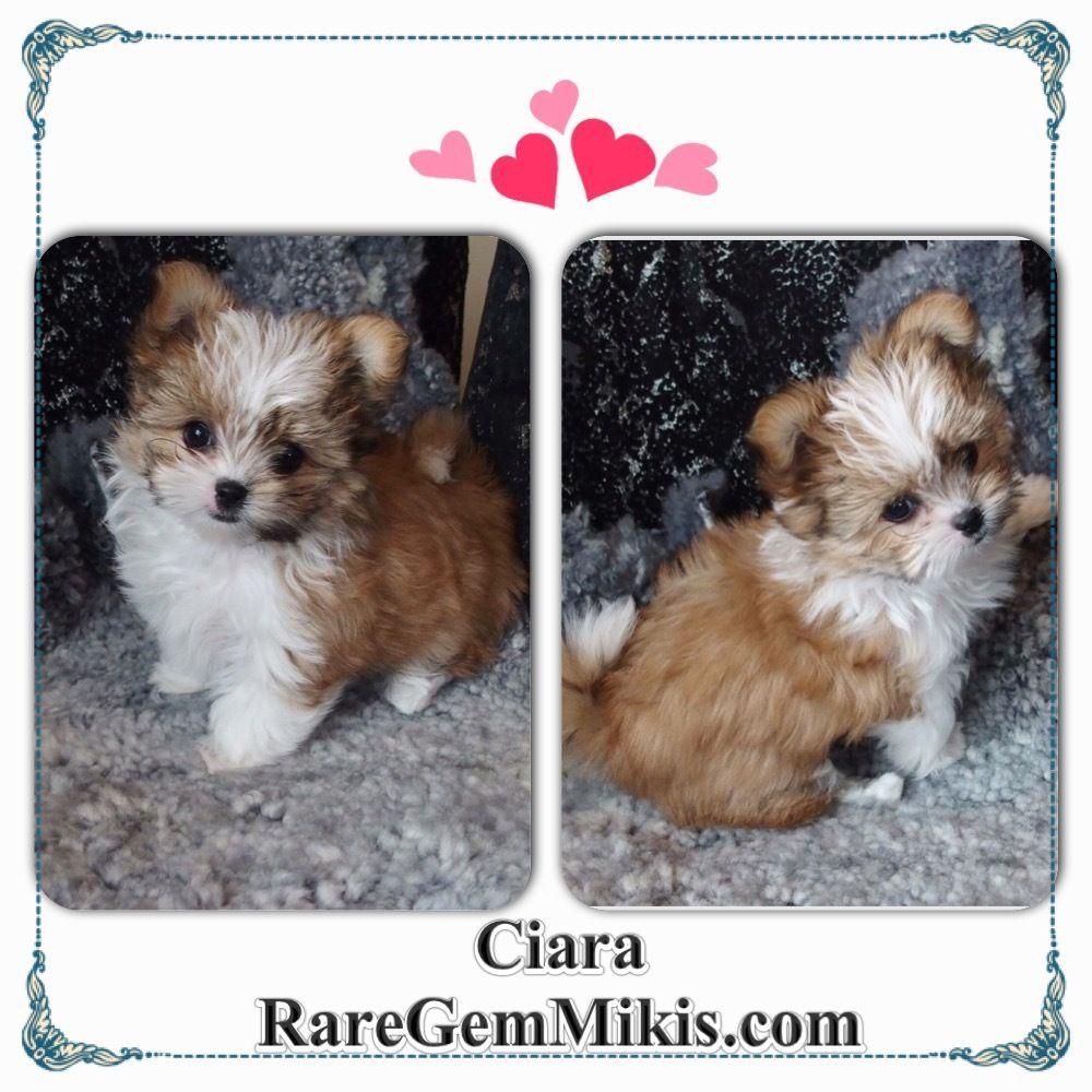 cK9 MiKi Puppy