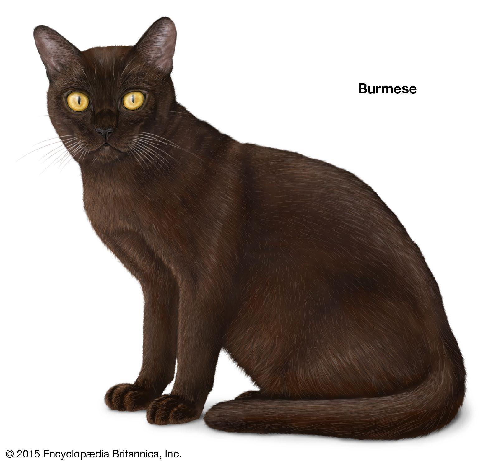 Cat Breeds Facts Cats Burmese Cat Cat Breeds