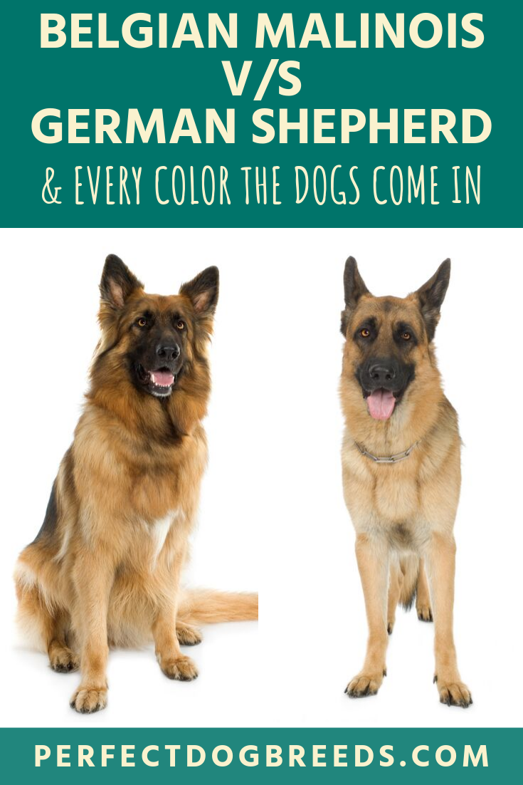 Belgian Malinois Vs German Shepherd Color Belgian Malinois German Shepherd German Shepherd Colors