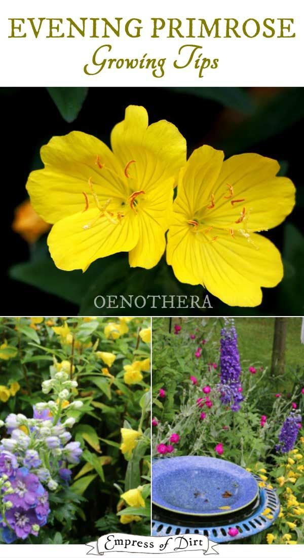 Tips For Growing Evening Primrose Oenothera In Your Home Garden
