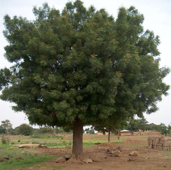 arbol de neem nim diabetes cancer planta neem nature can  neem trees bring health and shape a community