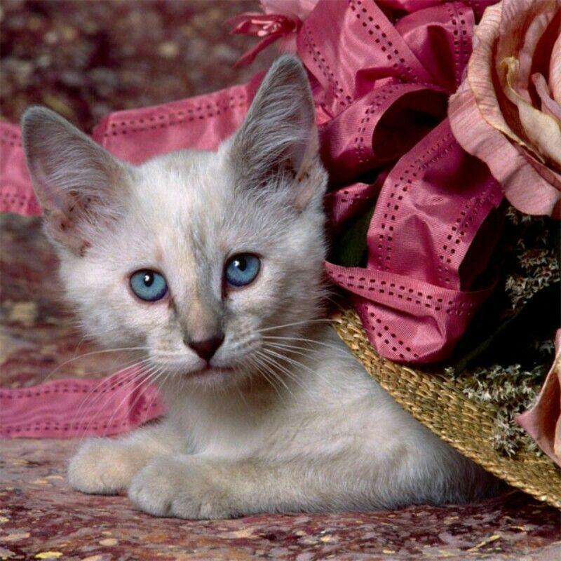 Beautiful Kitten Kitten Wallpaper Siamese Kittens Cute Cat Wallpaper