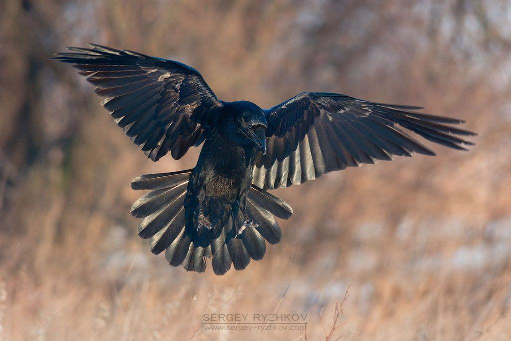 Common Raven Corvus Corax More Photos Ryzhkov Sergey Livejournal Com Raven Bird Crow Raven And Wolf