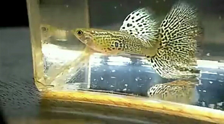 Snake skin big dorsal pair Guppy, Fish pet, Auction