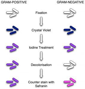 Diagram Explaining Gram Staining Procedure Microbiology Microbiology Lab Microbiology Study