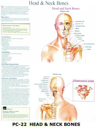 Buy Head Bones Neck Bones From Td Models Scientific Co India