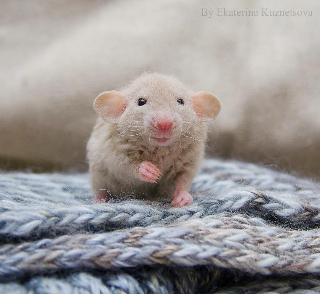 Ratties!! ️ image by • ή ɪ ɔ ɪ • Cute rats, Animals