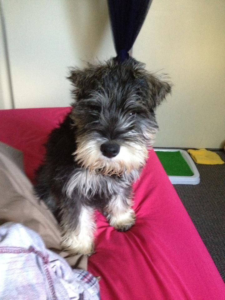 Baby Bruce Adorable Mini Schnauzer Puppy Mini Schnauzer