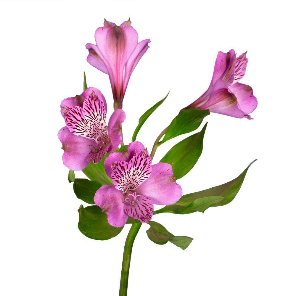 Globalrose Fresh Lavender Alstroemeria Flowers 80 Stems 320 Blooms Alstroemeria Purple Lavender 80 Alstroemeria Flower Drawing Flowers