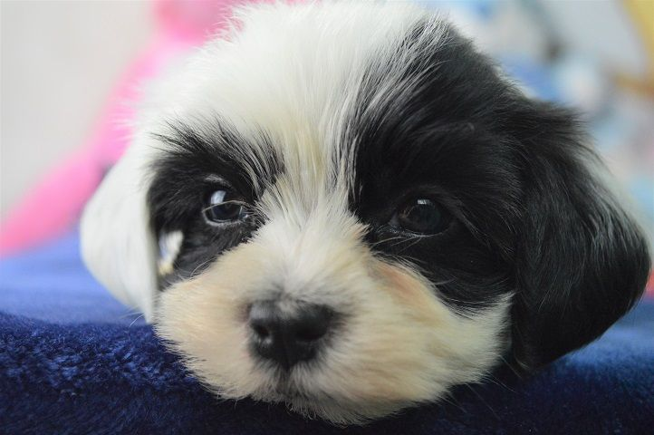 Havanese Puppies For Sale Fl Royal Flush Havanese Omg One Ear Is White And One Ear Is Black Havanese Puppies For Sale Havanese Puppies Havanese
