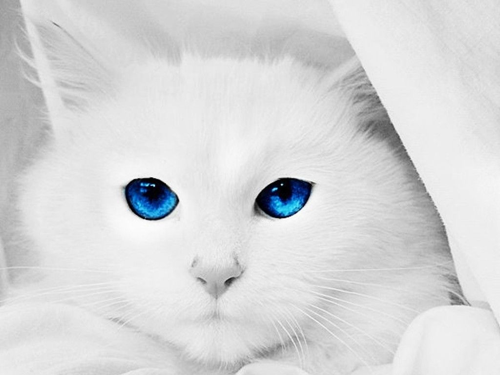 Pin By Ash Ketchem On Little Lions I Love My Cat Cat With Blue Eyes Cats And Kittens Animals