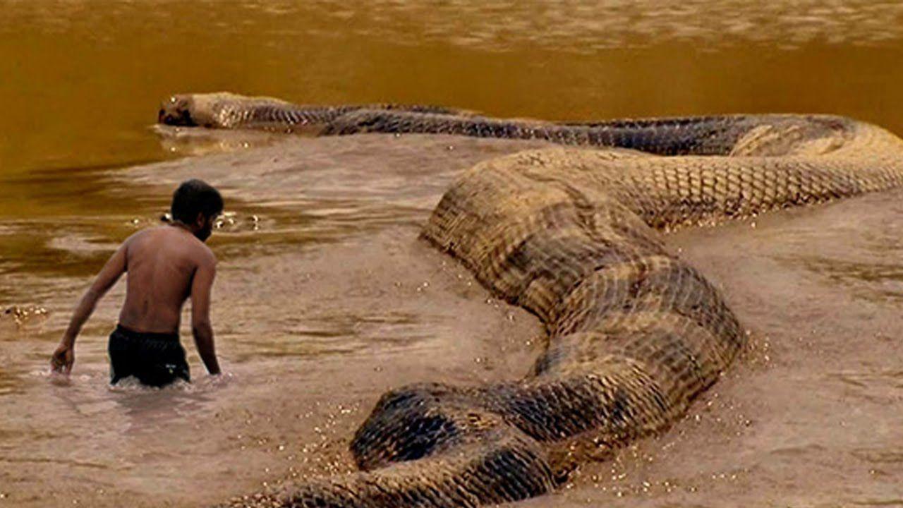 giant snake anaconda python big snake big snake