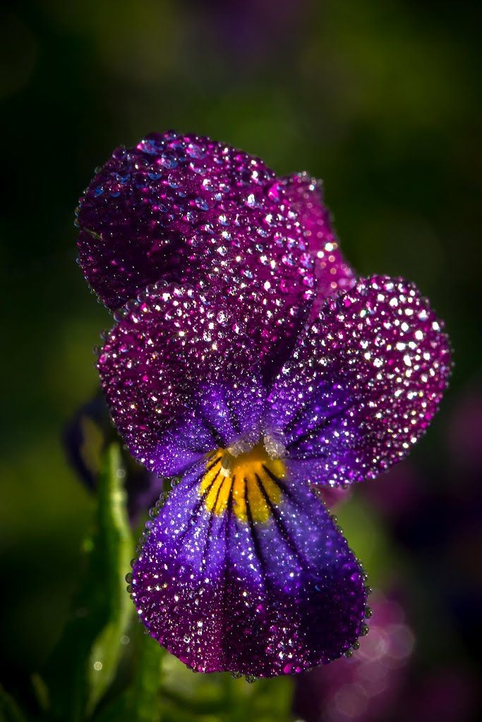 Pansy After The Rain Pansies Flowers Beautiful Flowers Pansies