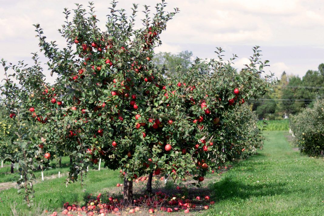Top 5 Apple Orchards to Visit This Fall   Apple orchard, Apple farm, Honeycrisp apple tree