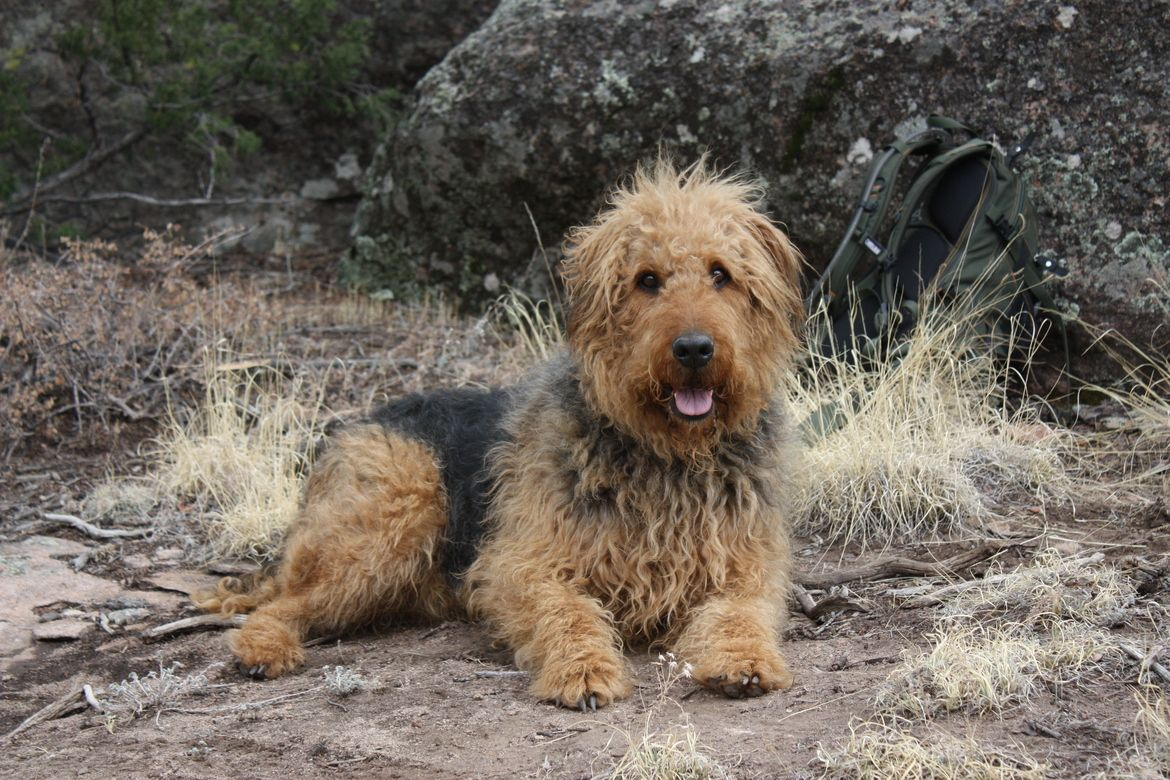 Airedale.