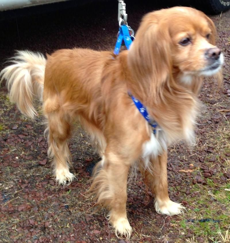 Adopted! Hi, I am Poochie a 7 year old Cavalier King Charles Spaniel/Tibetan Terrier Mix. I am small guy weighing in at 25 pounds. I am up to date with all my shots, neutered and in good health.I was surrendered by my owners and I just don't understand why....