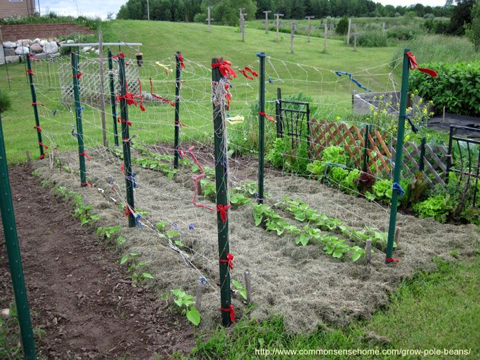 How to Grow Lots of Pole Beans for Easy Picking and Preserving