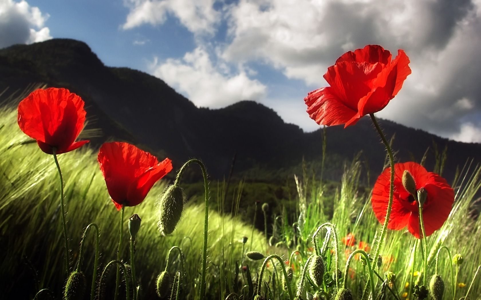 Poppy wallpaper papoilas pinterest poppy flowers flowers and