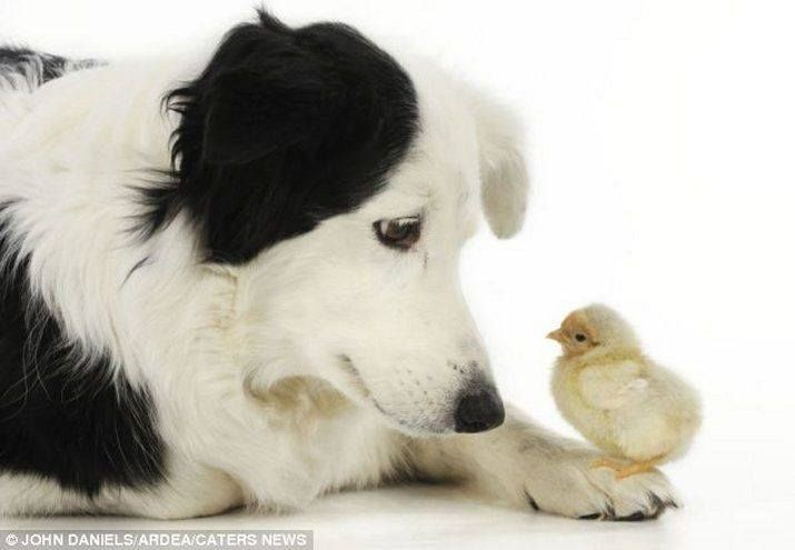 Border collie and chick