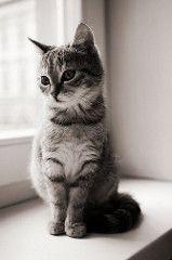 フリー画像 動物写真 哺乳類 ネコ科 猫ネコ モノクロ写真