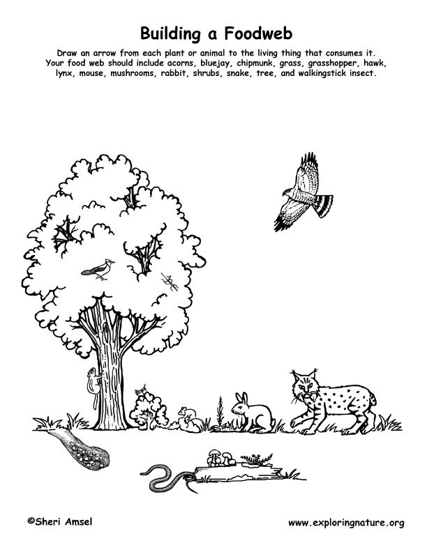 Forest Food Pyramid Project – Food Web Worksheets