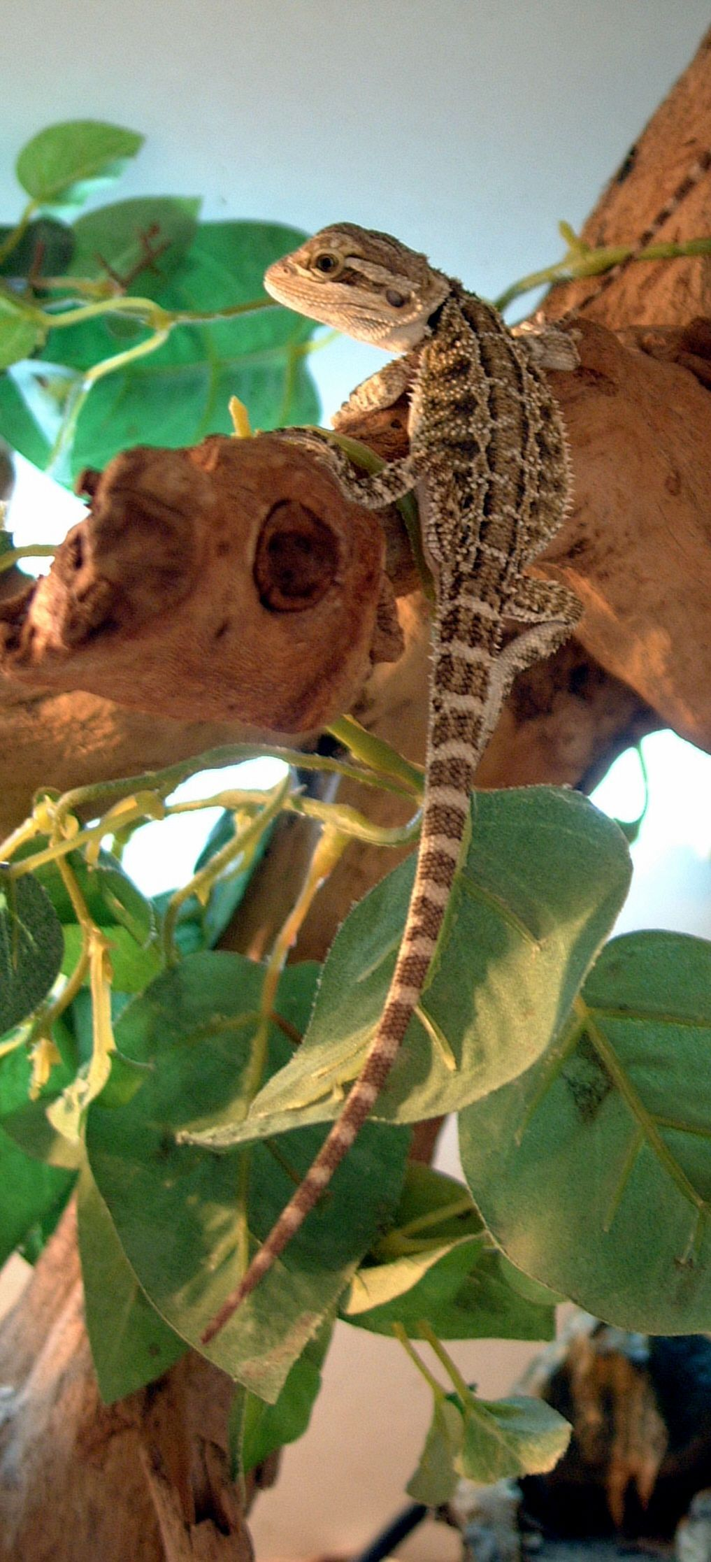 Bearded dragonLizards have more than 5600 species living
