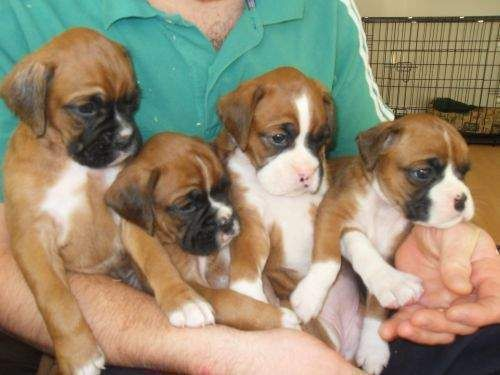 Buy/Sell/Adopt Boxer Dogs All Over India Boxer dogs