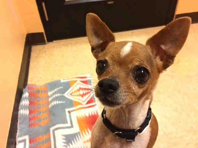 Chihuahua Dog For Adoption In Santa Fe Nm Adn 496821 On