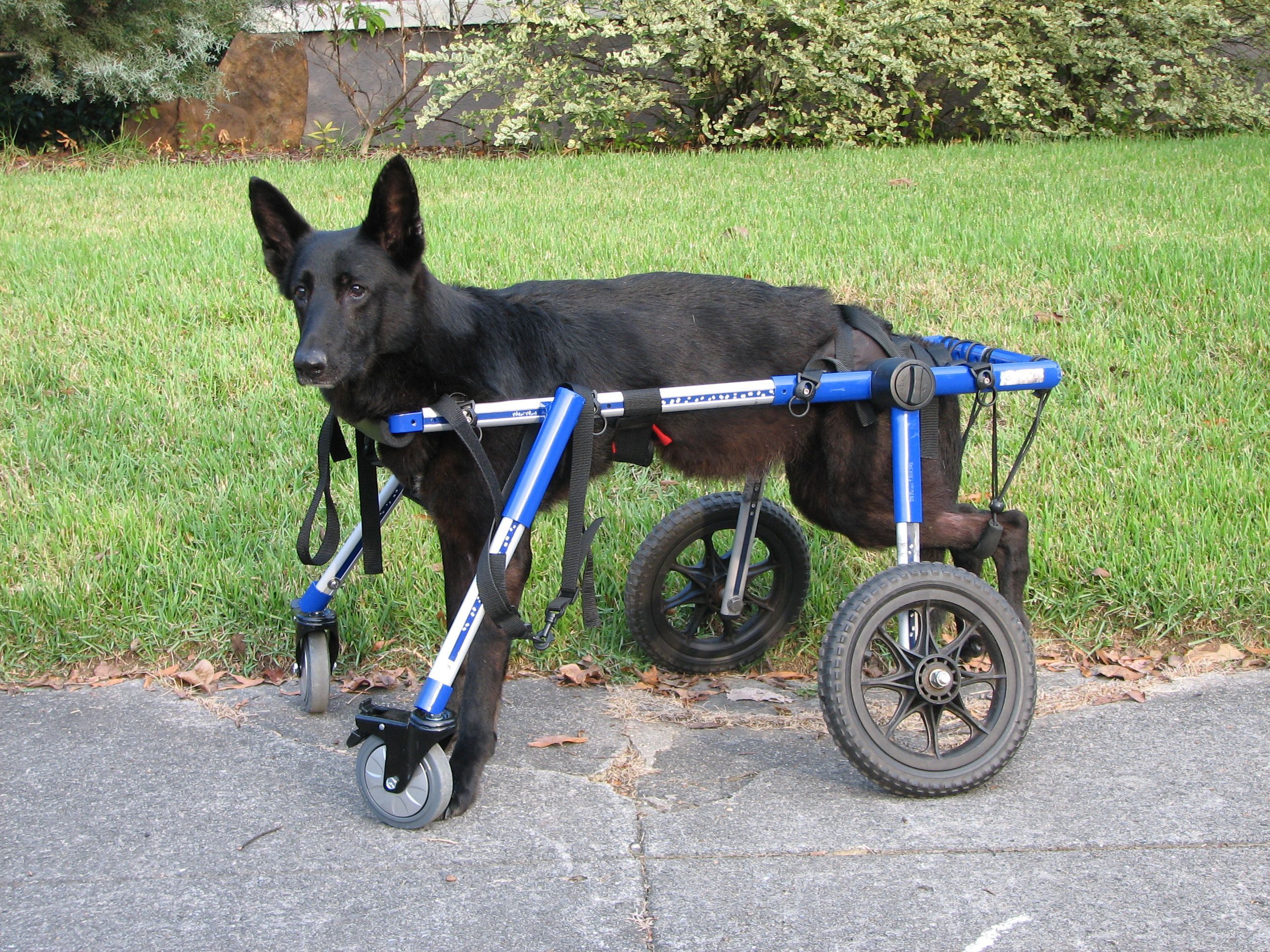 Large Front Attachment For Walkin Wheels Dog Wheelchair Dog
