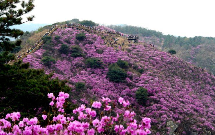 Goryeosan Azalea Festival In Ganghwa Island Korea Azalea Festival Tourist Spots Azaleas