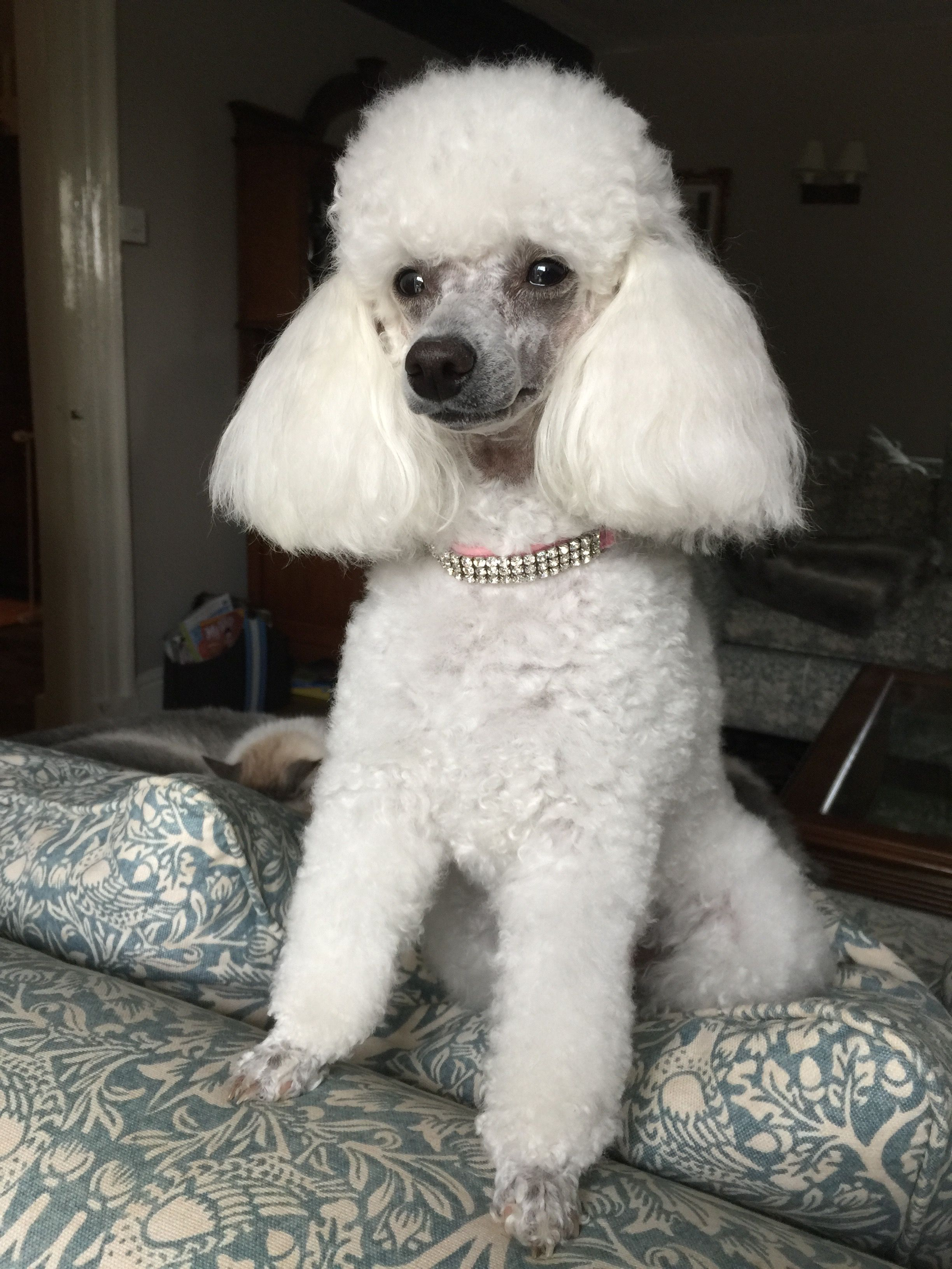 Penny White Toy Poodle White Toy Poodle