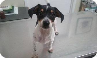 Arlington Wa Dachshund Rat Terrier Mix Meet Buddy Boy A Puppy