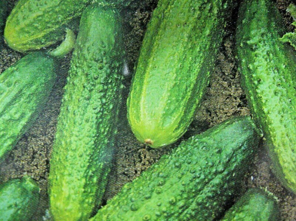 Einlegegurken Delikatess Gurken Mittelfruhe Sorte Saatgut Samen Gemuse P 180 Saatgut Wachskurbis Gurke
