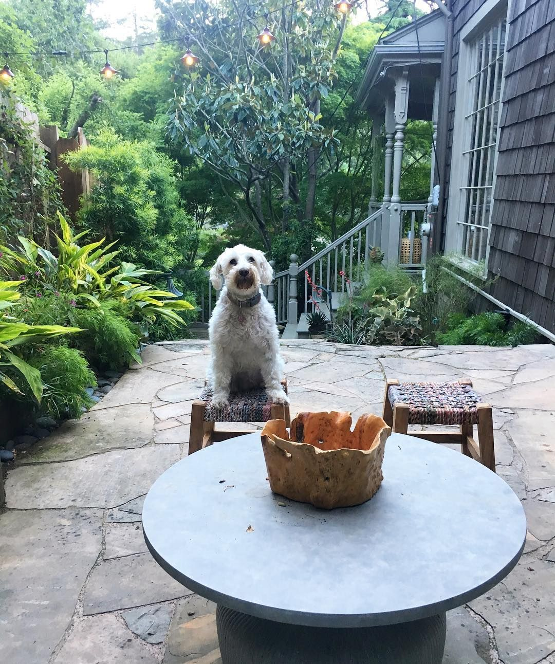 """""""Oh, Maggie I couldn't have tried any more You lured me away from home, just to save you from being alone You stole my soul and that's a pain I can do without..."""". #jungalow #sideyard #whiteschnauzer #dogstagram #rodstewart #maggie #landscape #gardem #jardim #metgala #california #flora #wanderlust #wanderluster #interiorstyling #interiordesign #bohemianhome #boanoite"""