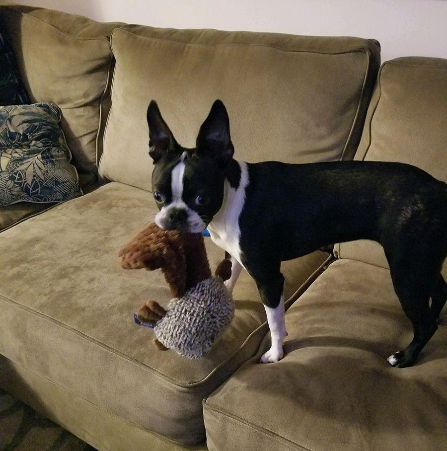 Does Anyone Have Experience With Their Boston Getting Car Sick