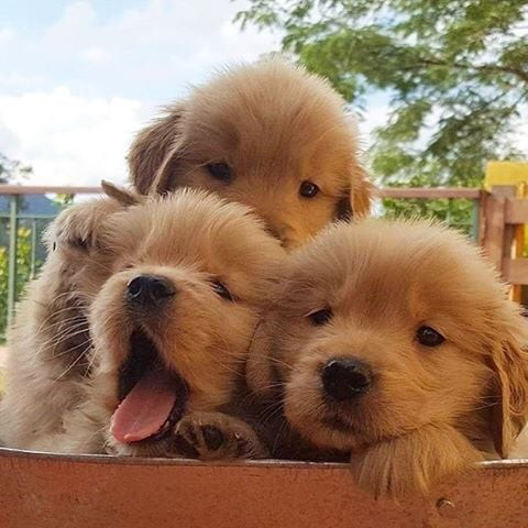 38 Photos Of Puppies That Are Bound To Give You Golden Retriever Fever Popsugar Cute Animals Puppies Dog Lovers
